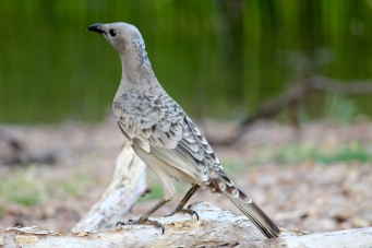 Great Bowerbird (Qld)