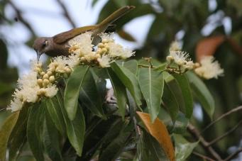 Brown Honeyeater - Berry Springs (NT)