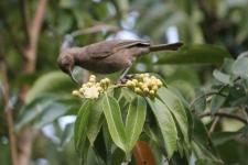 Dusky Honeyeater - Berry Springs, Darwin (NT)