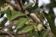White-throated Honeyeater - Berry Springs, Darwin (NT)