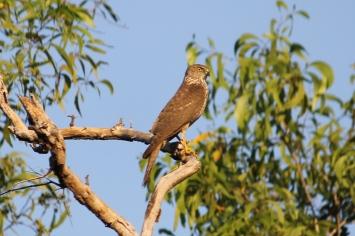 Swamp Harrier - Berry Springs, Darwin (NT)