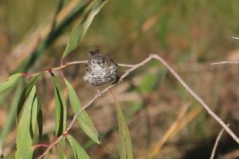 Bar-breasted Honeyeater - Berry Springs, Darwin (NT)