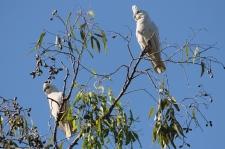 Little Corellas - Berry Springs, Darwin (NT)