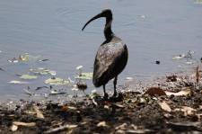 Straw-necked Ibis - Berry Springs, Darwin (NT)