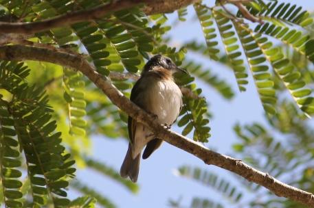 Rufous-banded Honeyeater - Berry Springs, Darwin (NT)