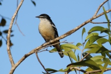 Varied Triller (Male) - Berry Springs, Darwin (NT)