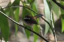 Arafura Fantail - Berry Springs, Darwin (NT)