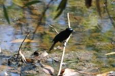 Shining Flycatcher (Male) - Berry Springs, Darwin (NT)