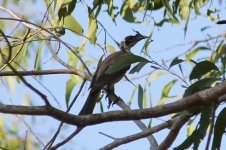 Silver-crowned Friarbird - Berry Springs, Darwin (NT)