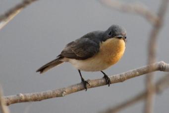 Leaden Flycatcher (Female) - Berry Springs, Darwin (NT)