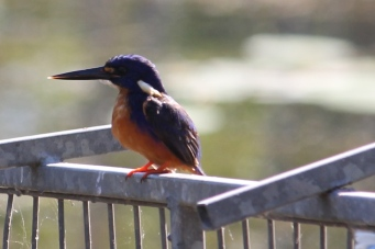 Azure Kingfisher - Berry Springs, Darwin (NT)