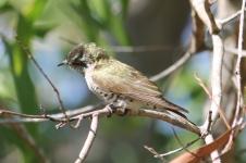 Little Bronze-Cuckoo - Berry Springs, Darwin (NT)