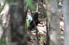 Rainbow Pitta -- Berry Springs, Darwin (NT)