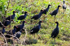 Purple Swamphens - Fogg Dam (NT)