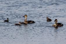 Wandering Whistling- Ducks - Fogg Dam (NT)