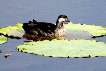 Green Pygmy Goose - Fogg Dam (NT)