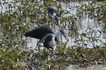 Pied Herons - Fogg Dam (NT)