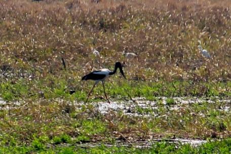 Black-necked Stork (Jabiru) - Fogg Dam (NT)