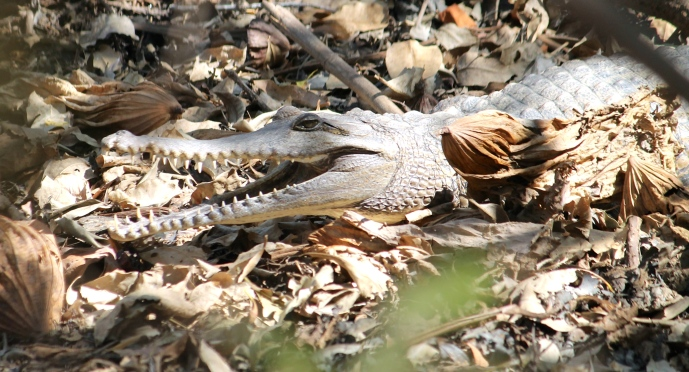 Freshwater Crocodile - Corroboree Billabong (NT)