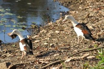 Radjah Shelducks - Berry Springs, Darwin (NT)