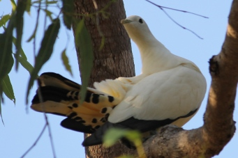 Torresian Imperial Pigeon - Berry Springs, Darwin (NT)