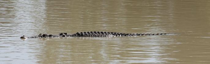 Saltwater Crocodile - Cahill's Crossing - Kakadu (NT)