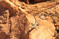 Simpsons Gap - Long-nosed Water Dragon (NT)