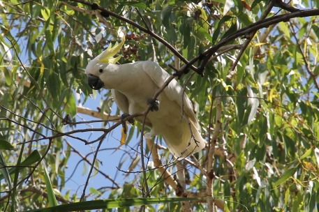 Sulphur-crested Cockatoo - Bowali Visitor Centre, Kakadu NP (NT)