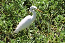 Intermediate Egret - Yellow River, Kakadu NP (NT)