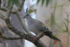 Crested Pigeon - Pussy Cat Flats (NT)