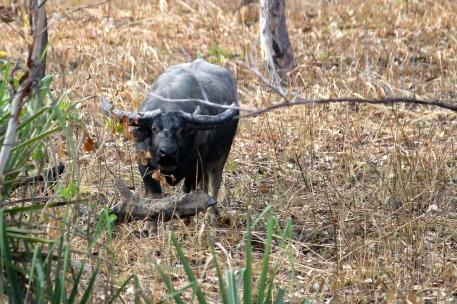 Kakadu - Water Buffalo (NT)