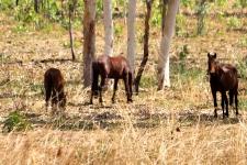 Kakadu - Brumbies (NT)
