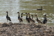 Plumed Whistling-Ducks - Pussy Cat Flats (NT)