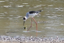 Black-winged Stilt - Pussy Cat Flats (NT)