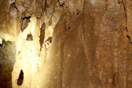Cutta Cutta Caves - Banded Tree Snake (NT)