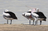 Pelicans - Longreach Waterhole (NT)