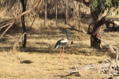 Black-necked Stork (Jabiru) - Longreach Waterhole (NT)