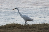 Intermediate Egret - Longreach Waterhole (NT)