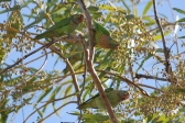 Varied Lorikeets - Longreach Waterhole (NT)