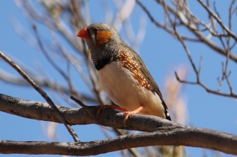 Zebra Finch - Gemtree (NT)