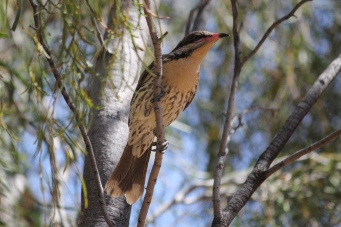 Spiny-cheeked Honeyeater - Ambalindum Station (NT)