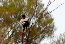 Wedge-tailed Eagle - Finke Road (NT)