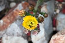 Coober Pedy - Cactus Flower (SA)
