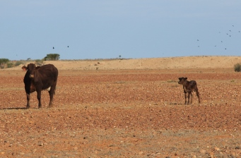 Anna Creek Station - Cattle (SA)
