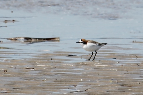 Red-capped Plover - Male - Port Germein (SA)