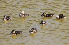 Mallard Chicks - Peterborough (SA)