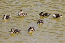 Mallard Chicks - Peterborough (SA)