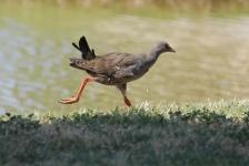 Black-tailed Native-hen - Peterborough (SA)