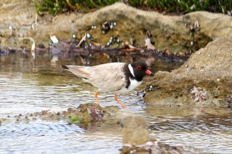 Hooded Plover - Yorke Peninsula, Hardwick Bay (SA)