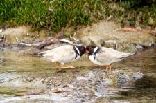 Hooded Plovers - Yorke Peninsula, Hardwick Bay (SA)